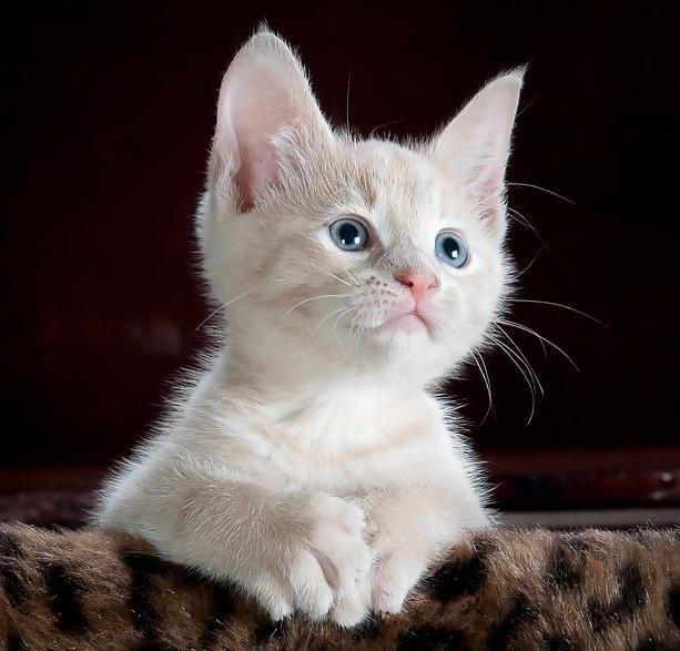 Cómo hacer que un gato aprenda su nombre. Los felinos son animales independientes y llenos de carácter, pero también se trata de excelentes mascotas de compañía que pueden ser entrenadas para obedecer ciertas órdenes. Pero para conseguirlo es...