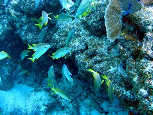 35 best coral reef images on pinterest florida keys hummer school of colorful grunts swimming around a florida keys coral reef sciox Images