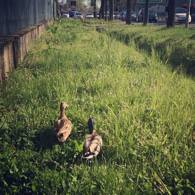 """#ducks and #traffic"""