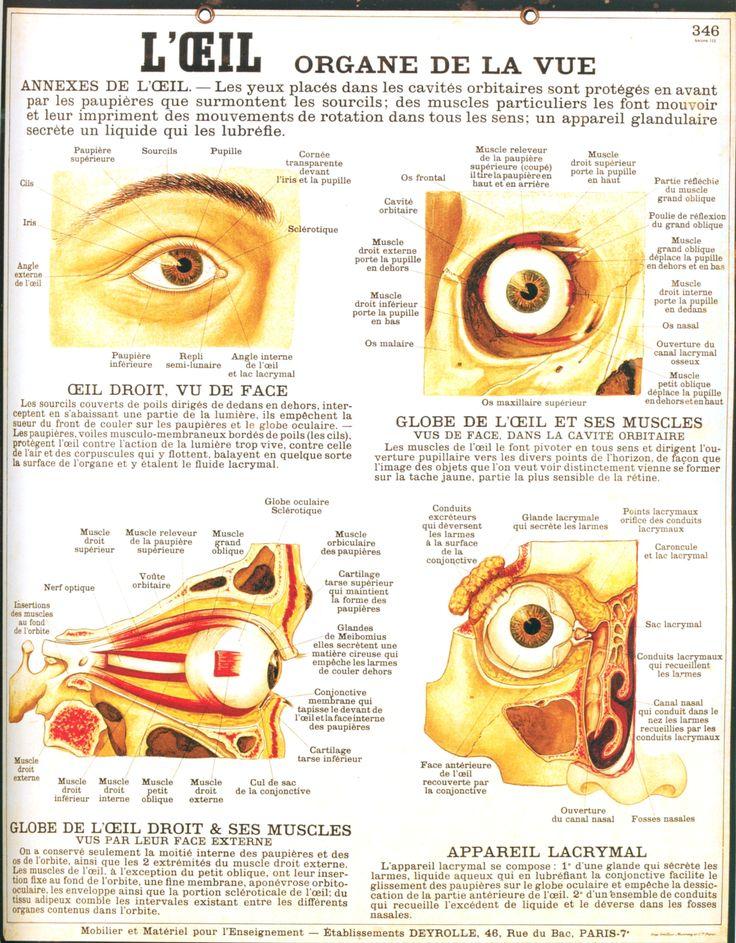 L'oeil organe de la vue
