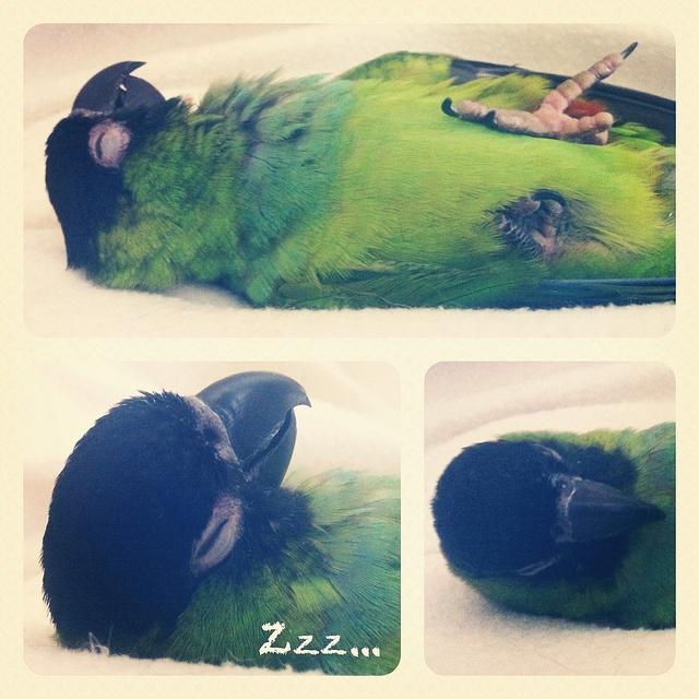 Rebecca's Nanday Conure, Mimi! She's so cute sleeping!