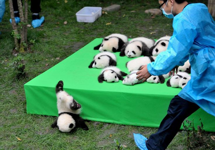 Pictures of the Year 2016:    Animals:    A giant panda cub falls from the stage while 23 giant pandas born in 2016 are seen on a display at the Chengdu Research Base of Giant Panda Breeding in Chengdu, Sichuan province, China, September 29, 2016.