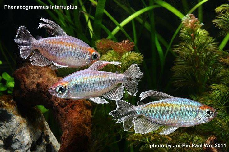 75 Best Fish Images On Pinterest Aquarium Ideas