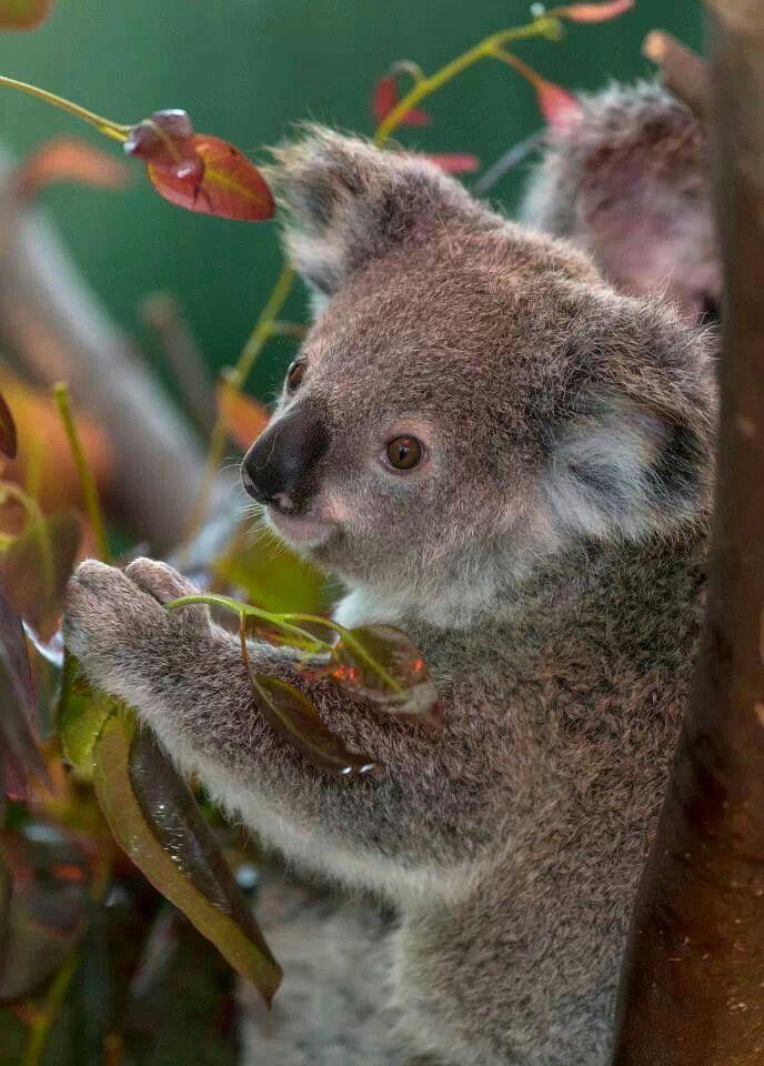 219 Best Koala Love Images On Pinterest