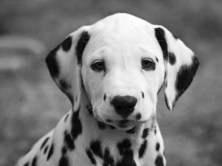 hund | Dalmatiner Bilder: Hund mit schönen schwarzen Punkten - Seite 1