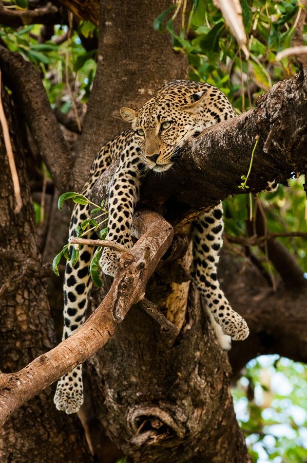 African Leopard -