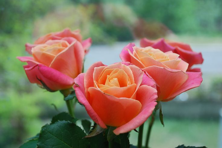 2017 is the Year of the Rose! Learn about the best rose varieties to grow in your garden, and get some important rose care tips!