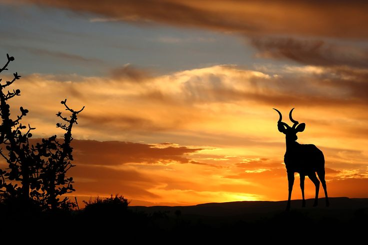 Mother land africa - it's about time!!!! Google Image Result for http://durbansafaris.com/wp-content/uploads/2012/04/bigstockphoto_sunset_kudu_1724400.jpg