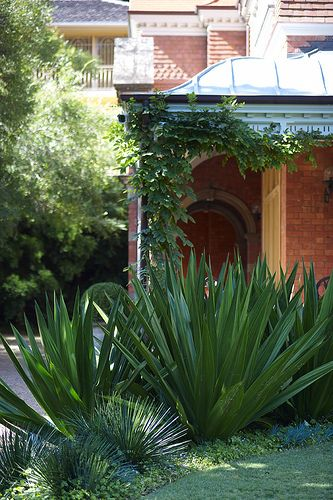 Furcraea foetida to replace the agaves, softer, no pups but still has the architectural shape we are looking for.