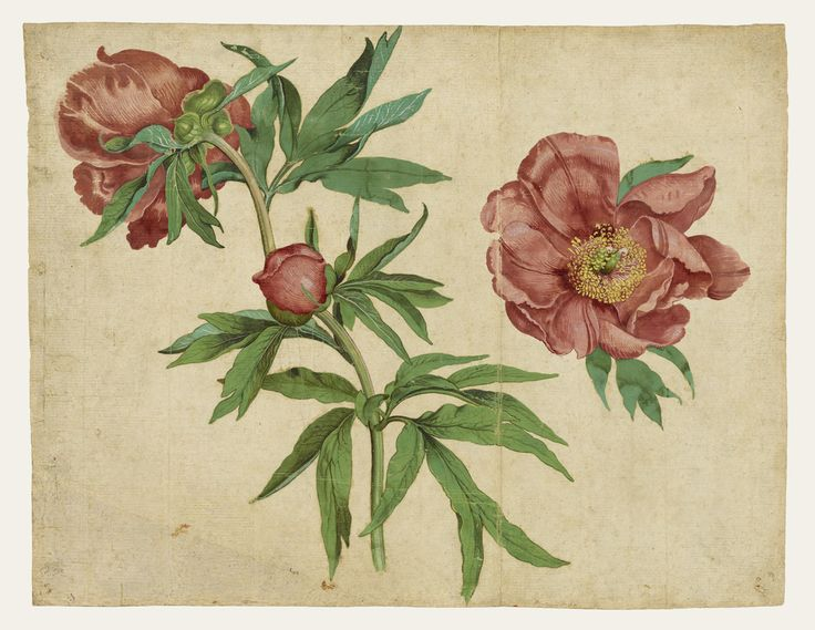 Studies of Peonies; Martin Schongauer (German, about 1450/1453 - 1491); Germany; 1472 to 1473; Gouache and waterolor; 25.7 × 33 cm (10 1/8 × 13 in.); 92.GC.80; J. Paul Getty Museum, Los Angeles, California