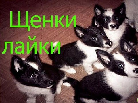 Puppies Russo European huskies. Щенки русско европейской лайки