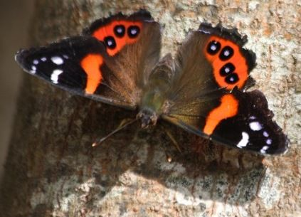 Red Admiral butterfly native to NZ. Similar to the yellow admiral except less common because the caterpillars only eat NZ native nettle which is nasty nasty stuff rarely seen in human modified landscapes.