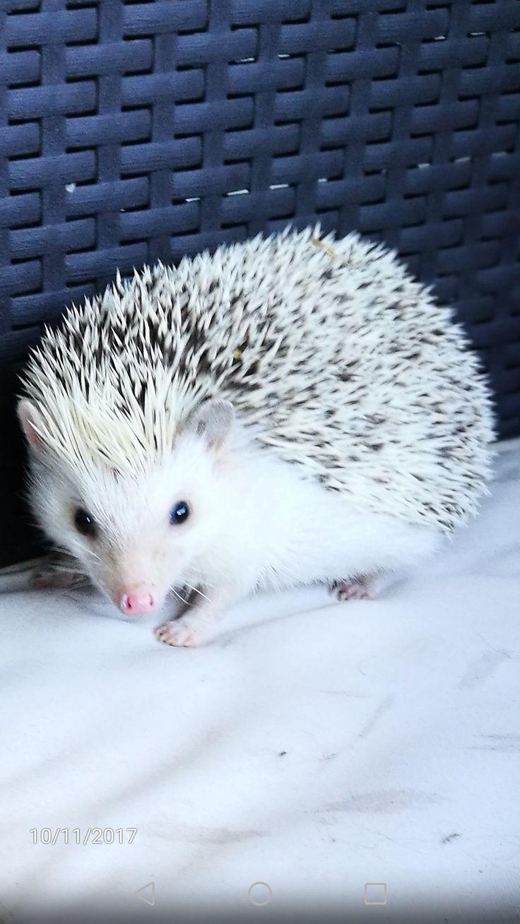 The most beautiful hedgehog is mine ❤❤