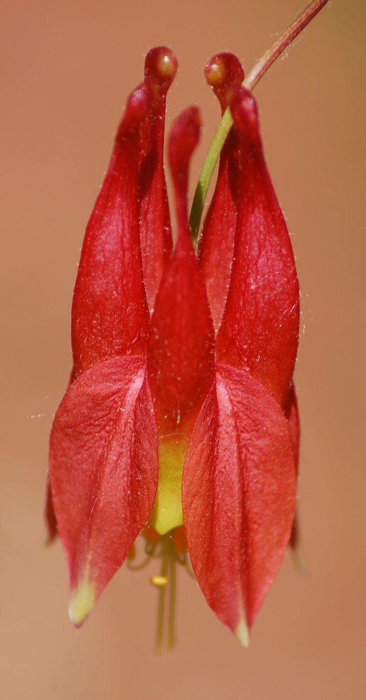 Top 25 best columbine flower ideas on pinterest blue flower learn the facts about columbine flowers dhlflorist Images