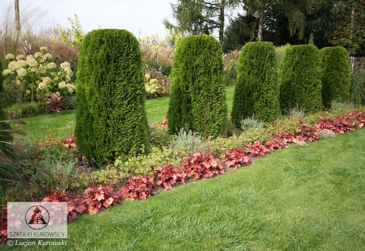 best 25 thuja occidentalis ideas on pinterest evergreen trees landscaping emerald arborvitae. Black Bedroom Furniture Sets. Home Design Ideas