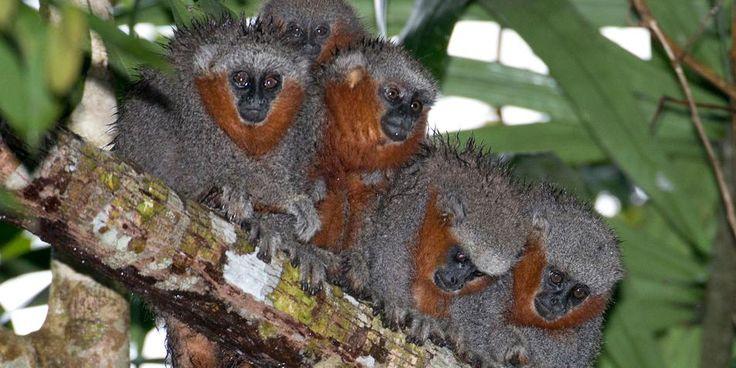 Wetenschappers hebben in het Amazonegebied een nieuwe aapsoort ontdekt. Het gaat om een grijs springaapje met een oranje staart en oranjebruine bakkebaarden. Op het voorhoofd pronkt een lichtgrijze streep.