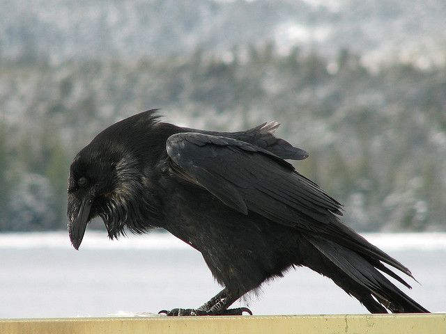This is beautiful. I hope to see a raven up close some day, kind of a hairy guy!