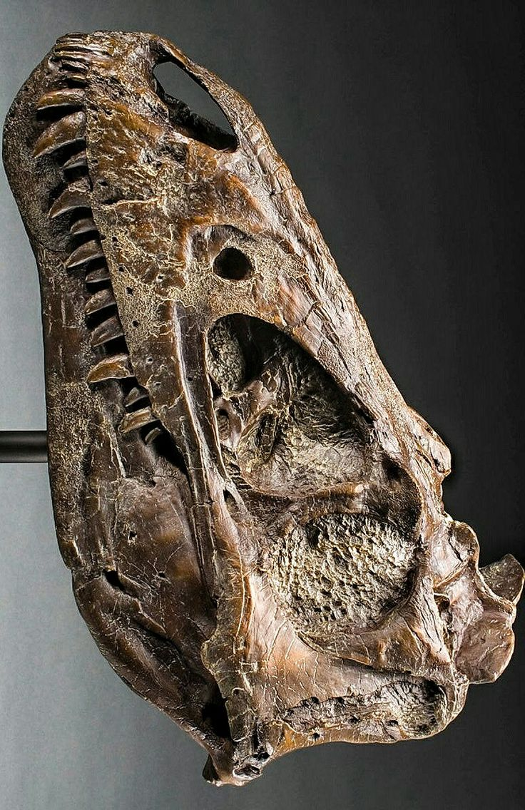 A young #Trex skull                                                                                                                                                                                 More