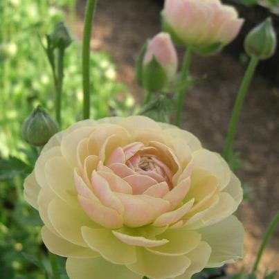 Beautiful Ranunculus Japan  ラナンキュラス「タソス(Thasos)」 ラナンキュラスは何百枚もの花びらがあり豪華絢爛なのですが、1枚1枚の花びらが薄いために純情可憐でピュアな印象を受けます。そして、蕾も花びらも優しいシルエットで、ふんわりコロコロ愛らしく、萌え要素満載です。色もPOPでビビッドなものからナチュラルでアンニュイなど、時に元気に時にエレガントな気分にしてくれます。特に私が好きなのはベージュ&ピンクのラナンで、女性に恋した時と同じように魅かれてしまいます