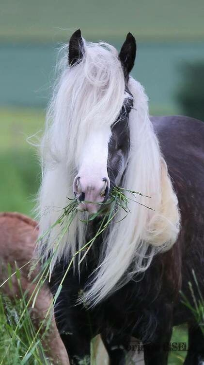 Beautiful Black horse with half a white face eating grass with it hanging out of his mouth. Great looking grass! Only a horse lover would notice the yummy grass, lol. Beautiful face and full long white mane.