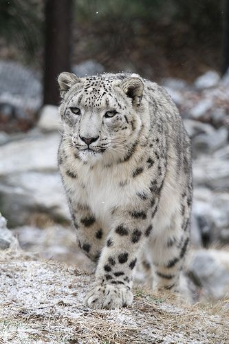 Snow leopards primarily hunt wild sheep and goats. Snow leopards are also known to eat smaller animals like rodents, hares and game birds.