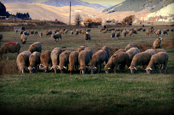 Sheeps in Roccaraso (Italy)
