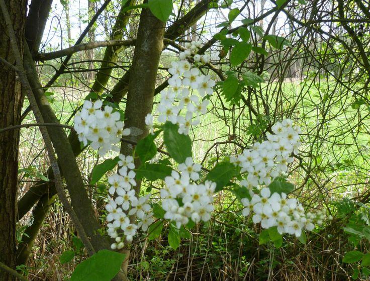 2014-04-06 Witte sering langs het pad naar de Stokkumerweg