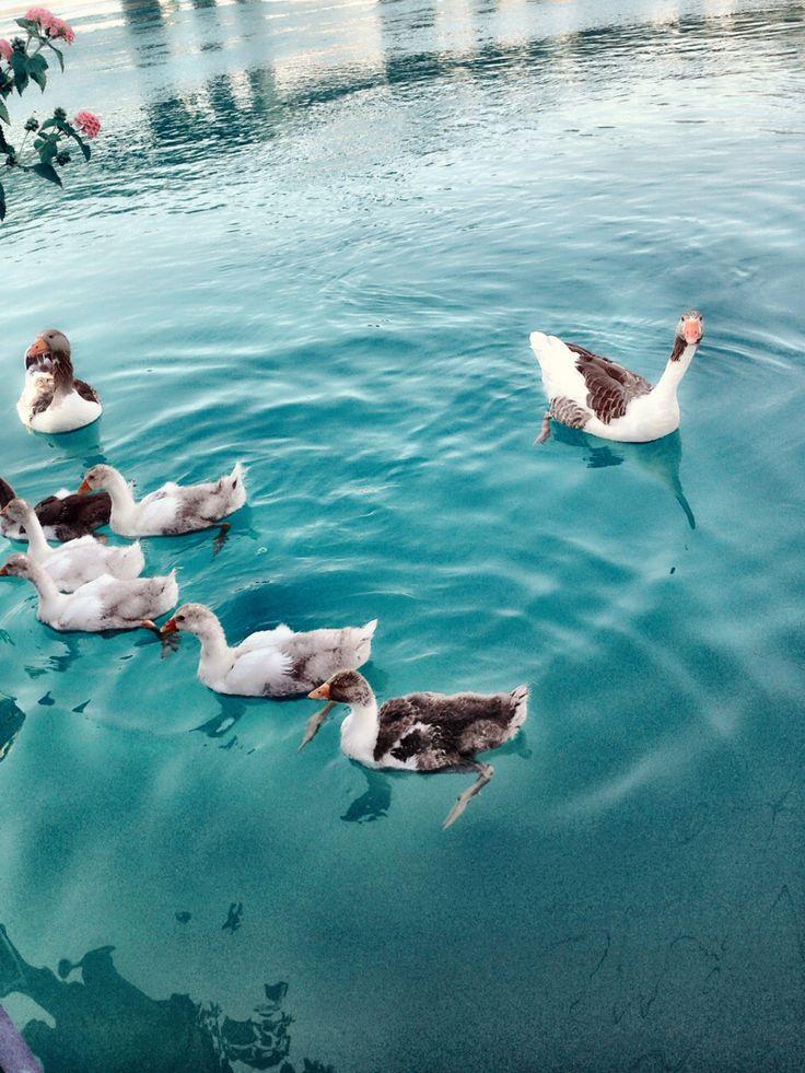 Photography / ducks / river / a shade of blue/ Ayda