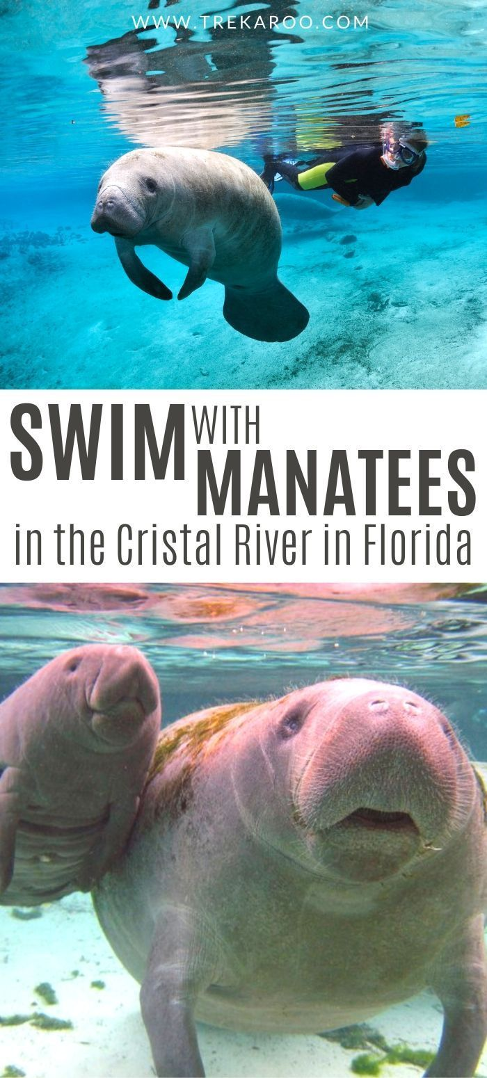 Bucket List Swim With Manatees In The Crystal River In Florida Swimming With Manatees Crystal River Florida Manatee