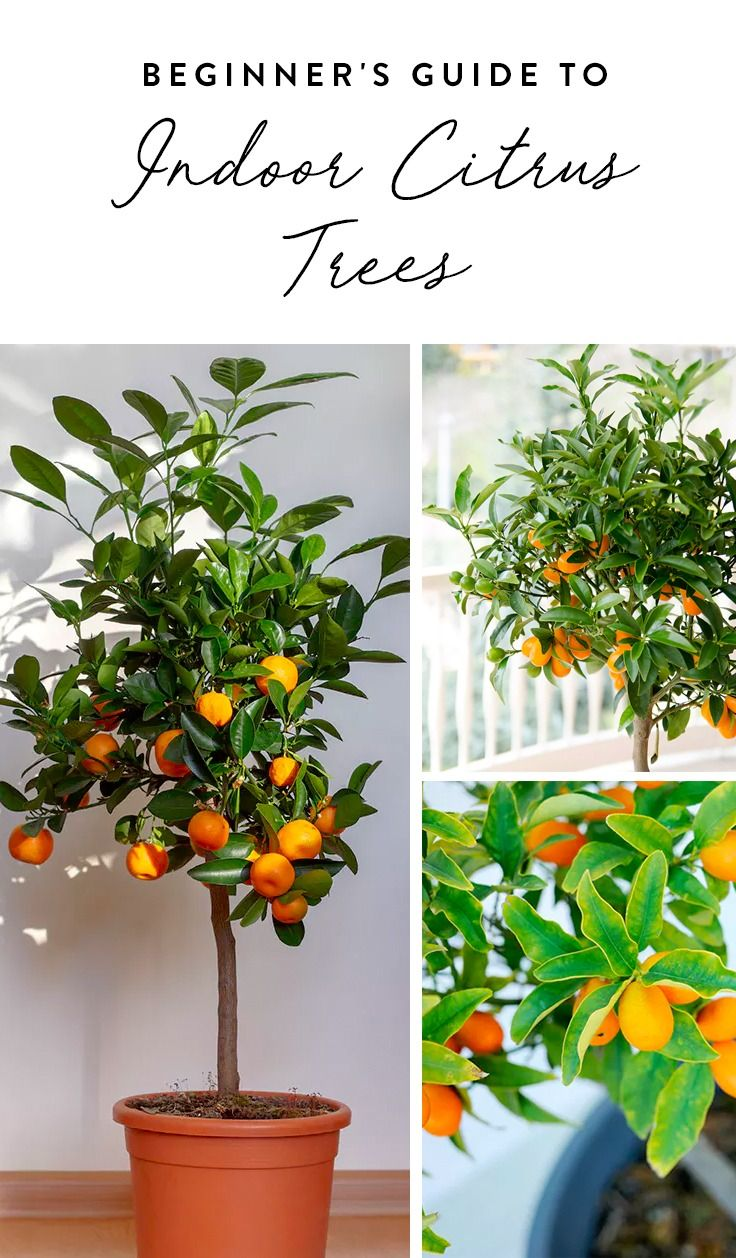 Everything You Need To Know About Growing A Citrus Tree In
