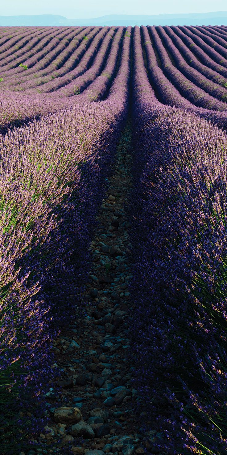 Lavender as far as the eye can see - by Lauren Bath