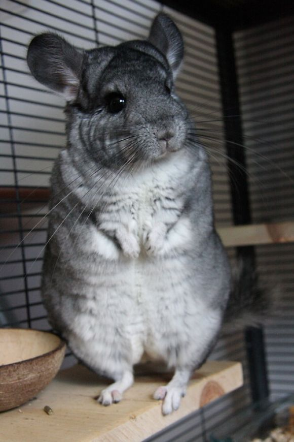 I don't think chinchillas get enough love on here