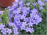 Plantas y flores: Campanula muralis