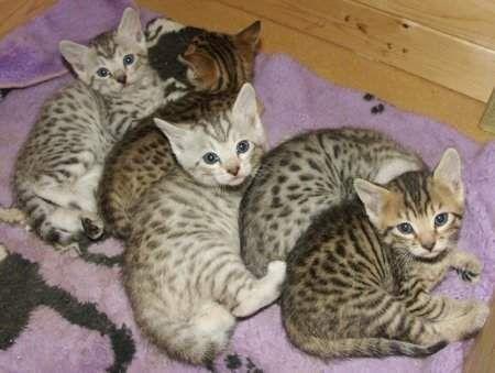 CafeChoo - Image - serval kittens for sale
