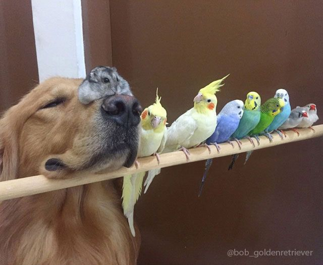 Bob the Golden Retriever and his best buds (8 birds and a hamster). || I would so watch a Real World season with these guys.