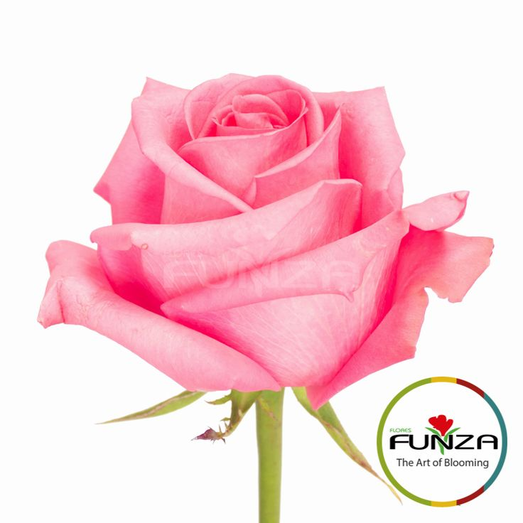 Hot pink Rose from Flores Funza. Variety: Cotton Candy, Availability: Year-round