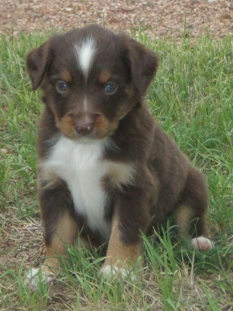 miniature australian shepherd | mini australian shepherd puppies for sale | All Puppies Pictures and ...