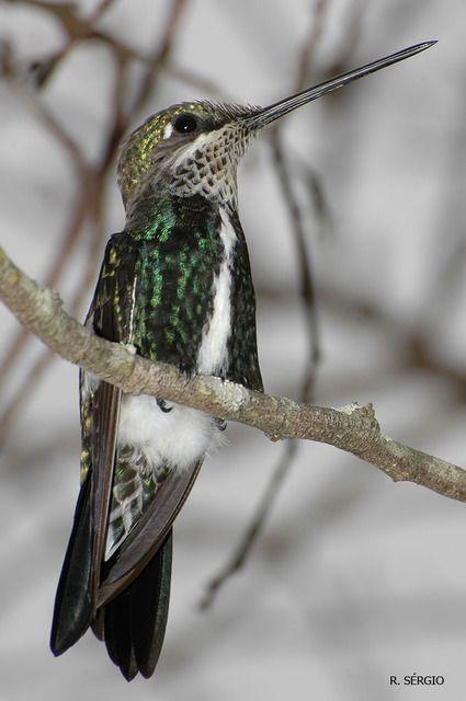 Foto bico-reto-de-banda-branca (Heliomaster squamosus) por Sérgio Cedraz   Wiki Aves - A Enciclopédia das Aves do Brasil
