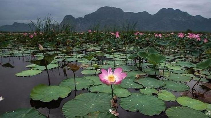 """Lotus çiçekleri 10 yıl aradan sonra yeniden açtı  """"Lotus çiçekleri 10 yıl aradan sonra yeniden açtı"""" http://fmedya.com/lotus-cicekleri-10-yil-aradan-sonra-yeniden-acti-h29147.html"""