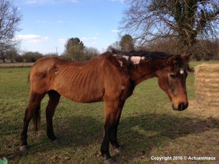 URGENT date butoir aujourd'hui, 10 juillet 2016; Sauver de la mort Chloé, Béarn et Petit Prince, chevaux épuisés, maltraités.