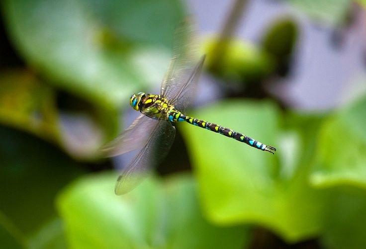 Dragon Fly in Colour - Explore 22.10.13 | by Peaf79