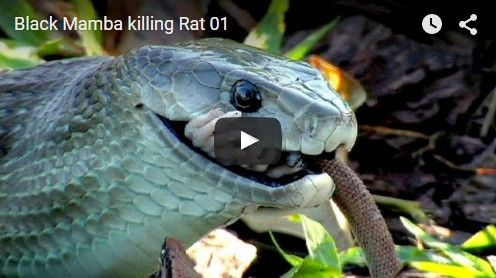 Beautifulplace4travel: Black Mamba killing Rat