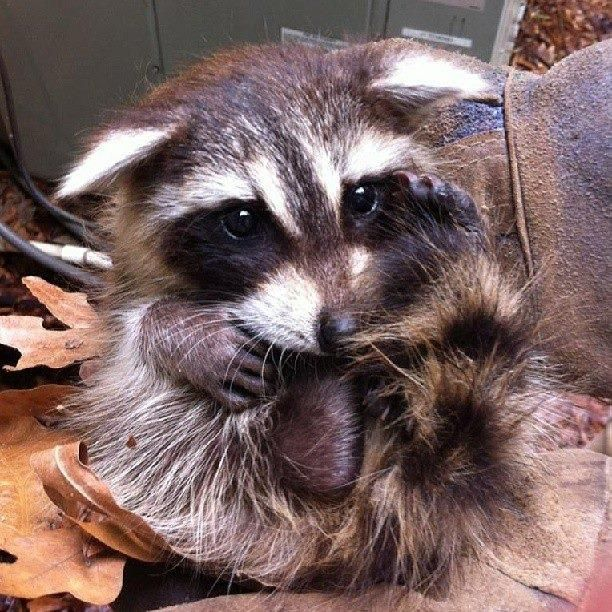 We know Raccoons can be very irritating, but this lil one is just too cute! www.floridawildlifebusters.com Orlando Raccoon Removal Raccoon removal in Orlando Florida is a problem that must be addressed quickly and effectively. Guaranteed Orlando raccoon removal services starting at $200.00. Call us now at 407-733-8623.