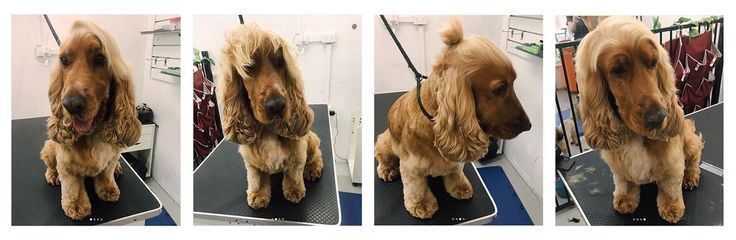 When you grow out the top of a Cocker Spaniel's head it looks like people hair... #dogpictures #dogs #aww #cuteanimals #dogsoftwitter #dog #cute