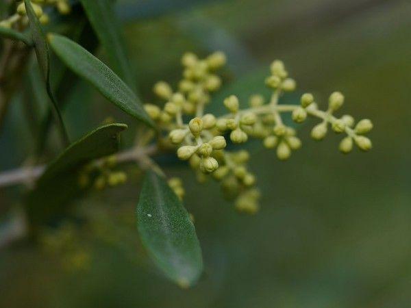 Zarte Olivenblüten - Olivenbäume kaufen kann man bei Meine Orangerie