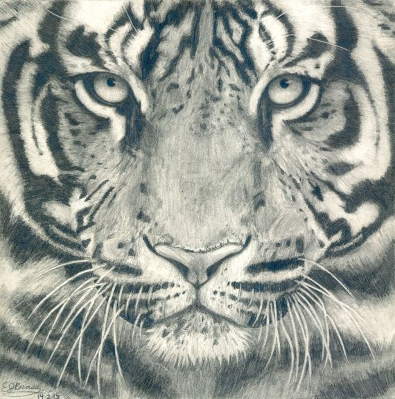 Tiger Face Black and White Realistic Pencil Drawing - Giclee Wildlife Art Print