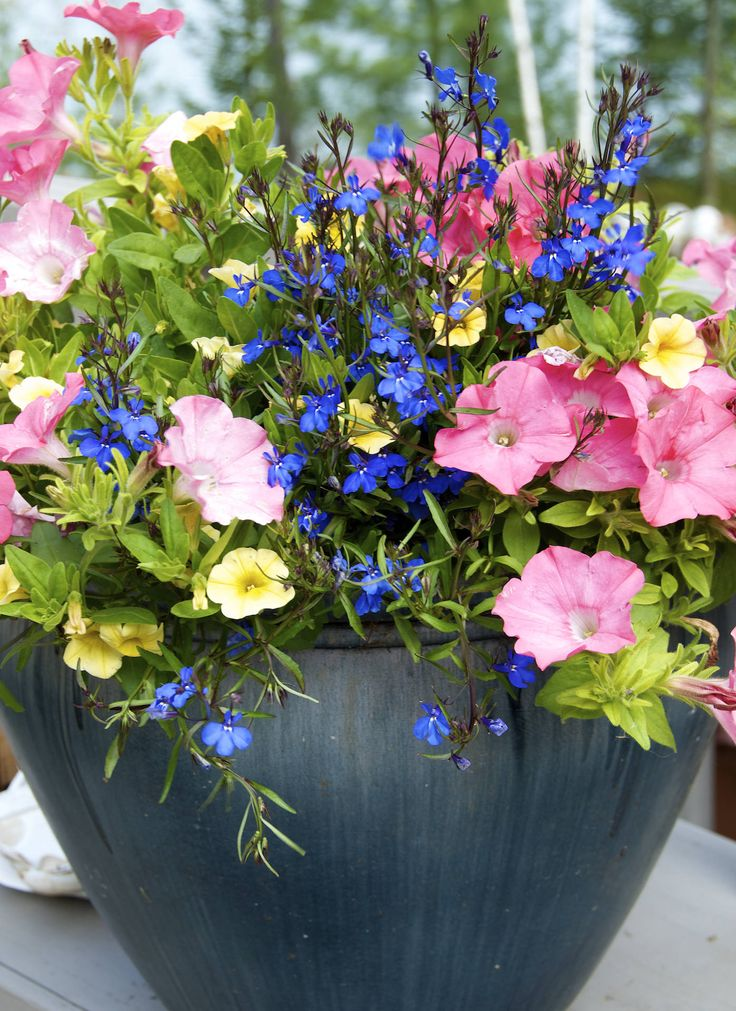 delicate: Pots Gardens, Flower Container, Gardens Ideas, Container Gardens, Small Yard, Garden Ideas, Color Combinations, Blue Flower, Hanging Baskets