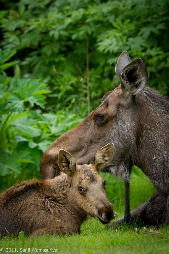 Baby moose and Mama moose