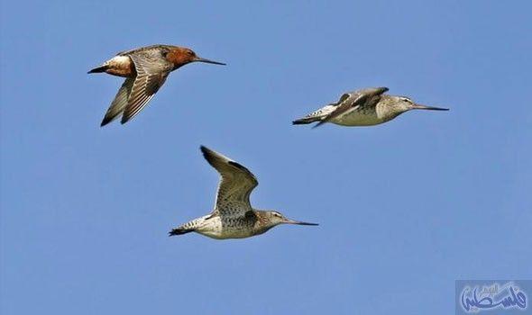 الطيور المهاجرة تسافر لمسافات طويلة خلال رحلتها الشاقة Animals Birds