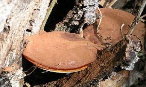 Μεγάλο σκουρόχρωμο, σκληρό, με ξυλώδη υφή και καφέ λείο περίβλημα.  Είναι ένας βασιδιομύκητας που ανήκει στην οικογένεια των polyporacea μυκήτων. Στη φύση φύεται σε πυκνά δασώδη βουνά με υψηλά ποσοστά υγρασίας και λιγοστό φως. http://ganoderma-lucidumdxn.blogspot.gr/2014/10/ganoderma-ling-zhi.html